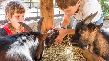 Children feeding goats|Children feeding goats